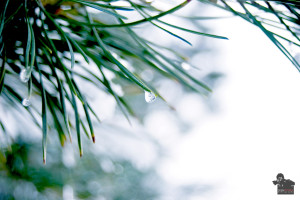 Gefrorener Wassertropfen an einem Tannenbaum im Winter.